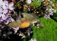 Liepājā viltus kolibri