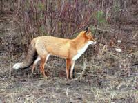 Ģibuļu pagastā uzietajai lapsai trakumsērgu neatrod; Latvijā šī bīstamā slimība pašlaik nav konstatēta