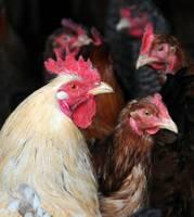 """""""Nīckrasti"""" saņems 69 256 eiro kompensāciju par putnu salmonelozes seku novēršanu"""