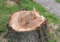 Aicina apspriest trīs koku ciršanu Vidusceļa ielā