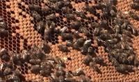Pauž bažas par bišu pārziemošanu