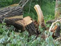 Gaida iedzīvotāju viedokli par koku ciršanu Rojas ielas posmā