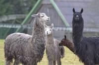 Atkal atvērtajā zoodārzā Kalvenē apmeklētājus gaida vairāku sugu dzīvnieku mazuļi