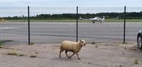 Arvien biežāk savvaļas dzīvnieki viesojas pilsētā