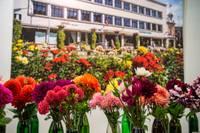 Biedrības namā ar dāliju ziedu izstādi tiks noslēgta ziedu izstāžu sezona