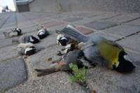 Atkal masveidā nositas putni. Īpašnieks sola rīkoties