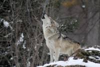 Seši Kalvenes zoodārza vilki aizceļo uz Franciju