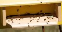 Pūpolu medus tiks pašām bitēm. Salto ziemu tās pārdzīvojušas labi
