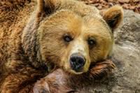 Bārtas mežā uzfilmēts lācis