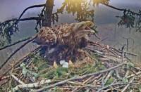 Milda viena raud. Putnu mīļotāji seko līdzi dramatiskajiem notikumiem Durbes jūras ērgļa ligzdā
