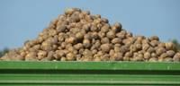 Kartupeļus labāk stādīt vēlāk nekā slapjā un aukstā augsnē