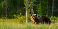 Meža saimnieks ir ieradies. Latvijā patlaban varētu mitināties ap 70 lāču, taču, ja ķepainis ievēros cilvēku, aizies nepamanīts