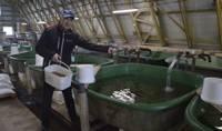 Šogad Latvijas upēs un ezeros ielaidīs teju 14 miljonus zivju mazuļu