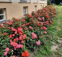 Dzērves pamatskolā sajūsmina karaliskā rožu dobe
