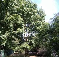Aicina apspriest divu koku ciršanu Sakņu ielā