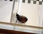 Первые тараканьи бега