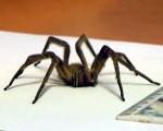 В магазине обнаружили экзотического паука
