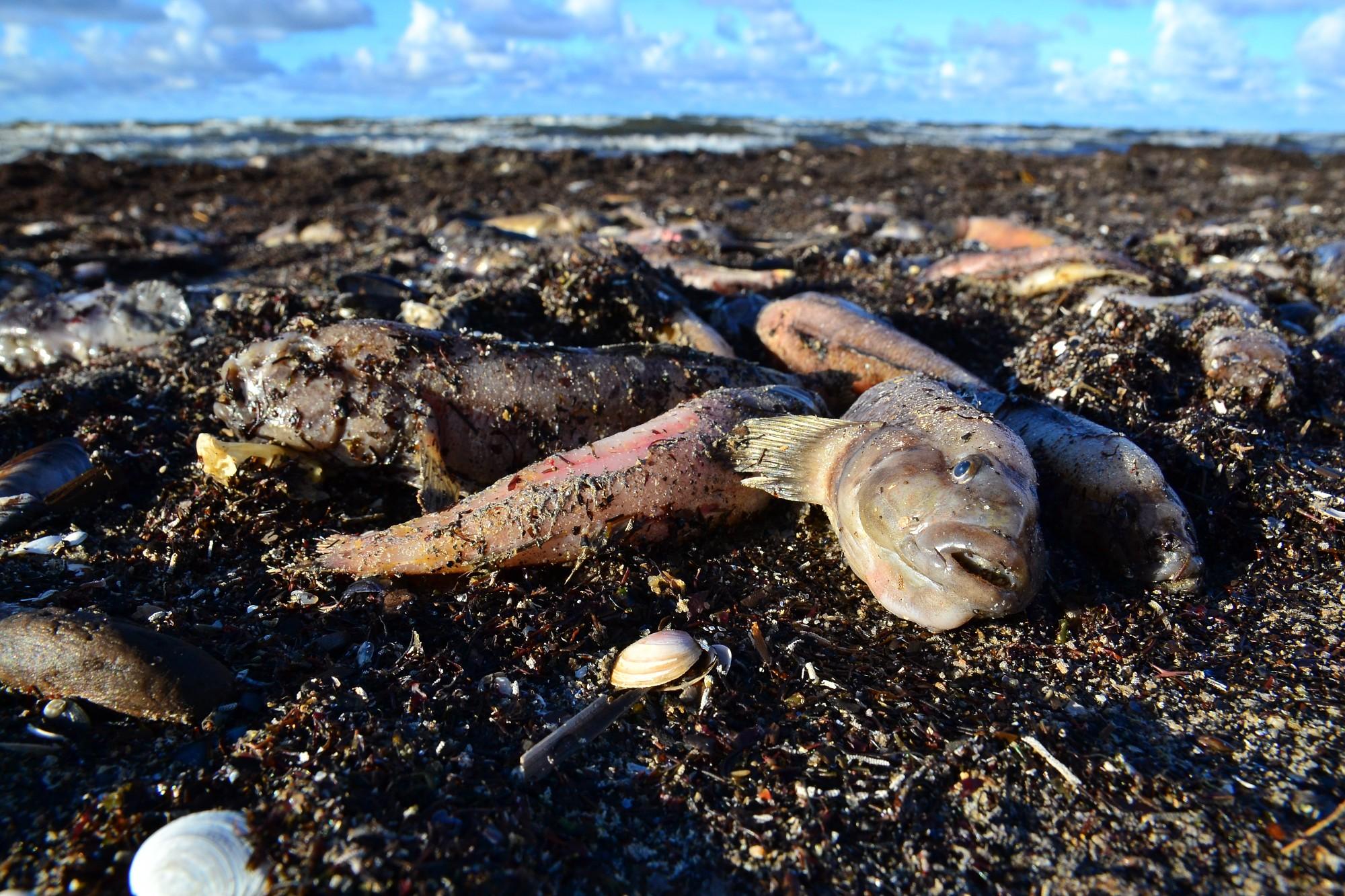 Пляж усеян мертвыми бычками