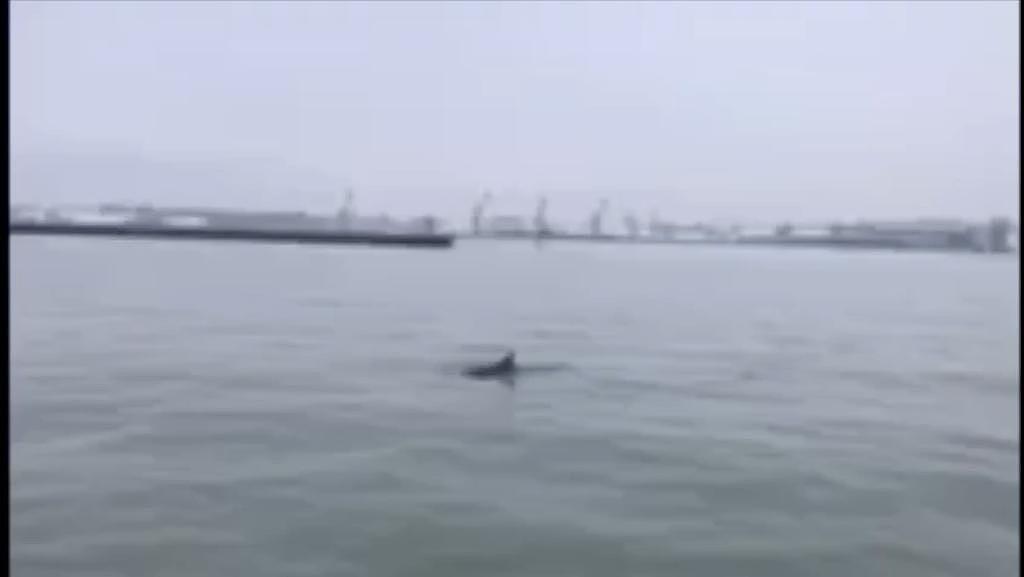 Дополнено – В Лиепайский порт заплыл дельфин