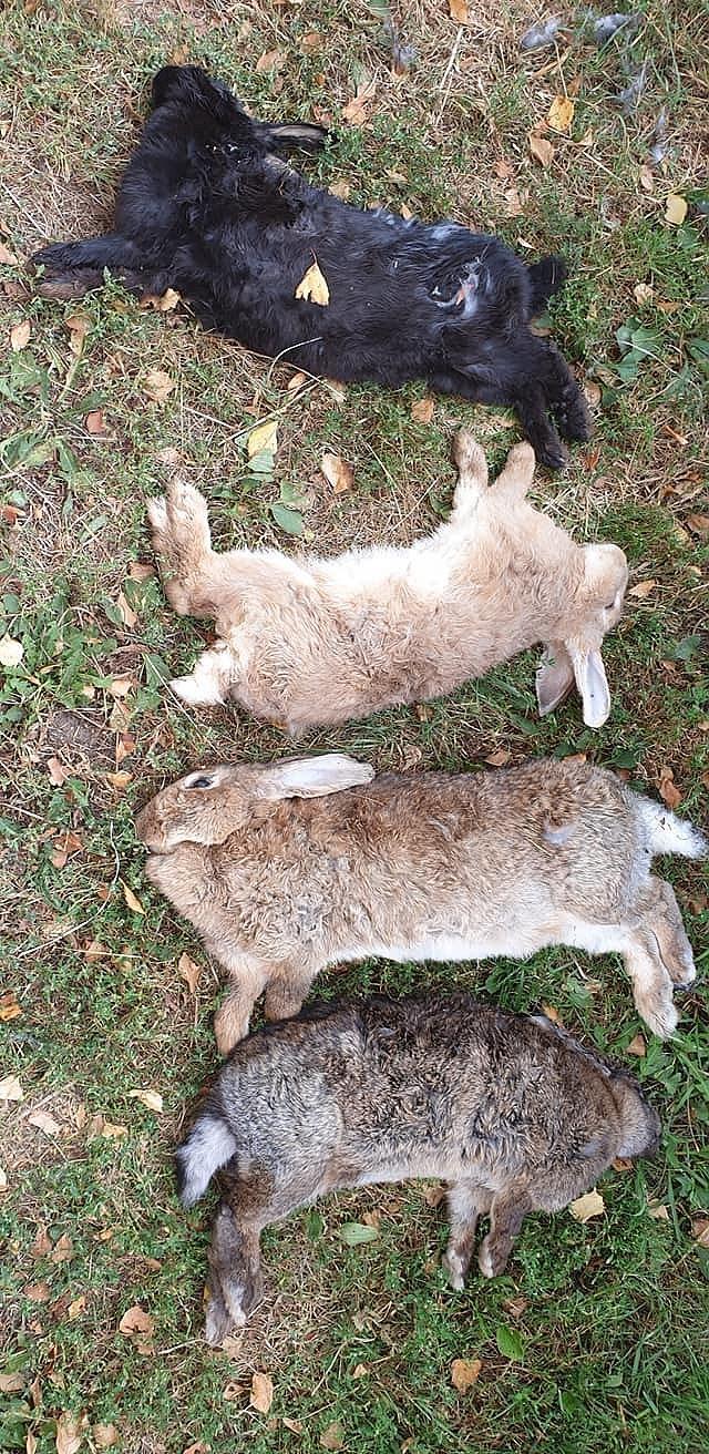 Бродячие собаки загрызли 13 кроликов
