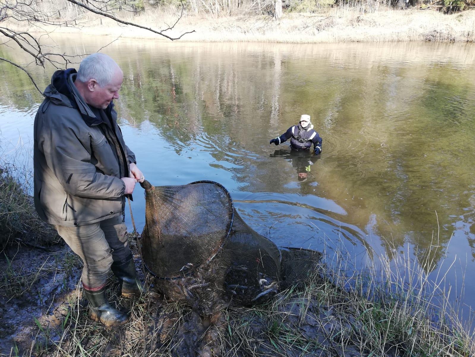 На речке Барте из ловушек освободили более сотни миног