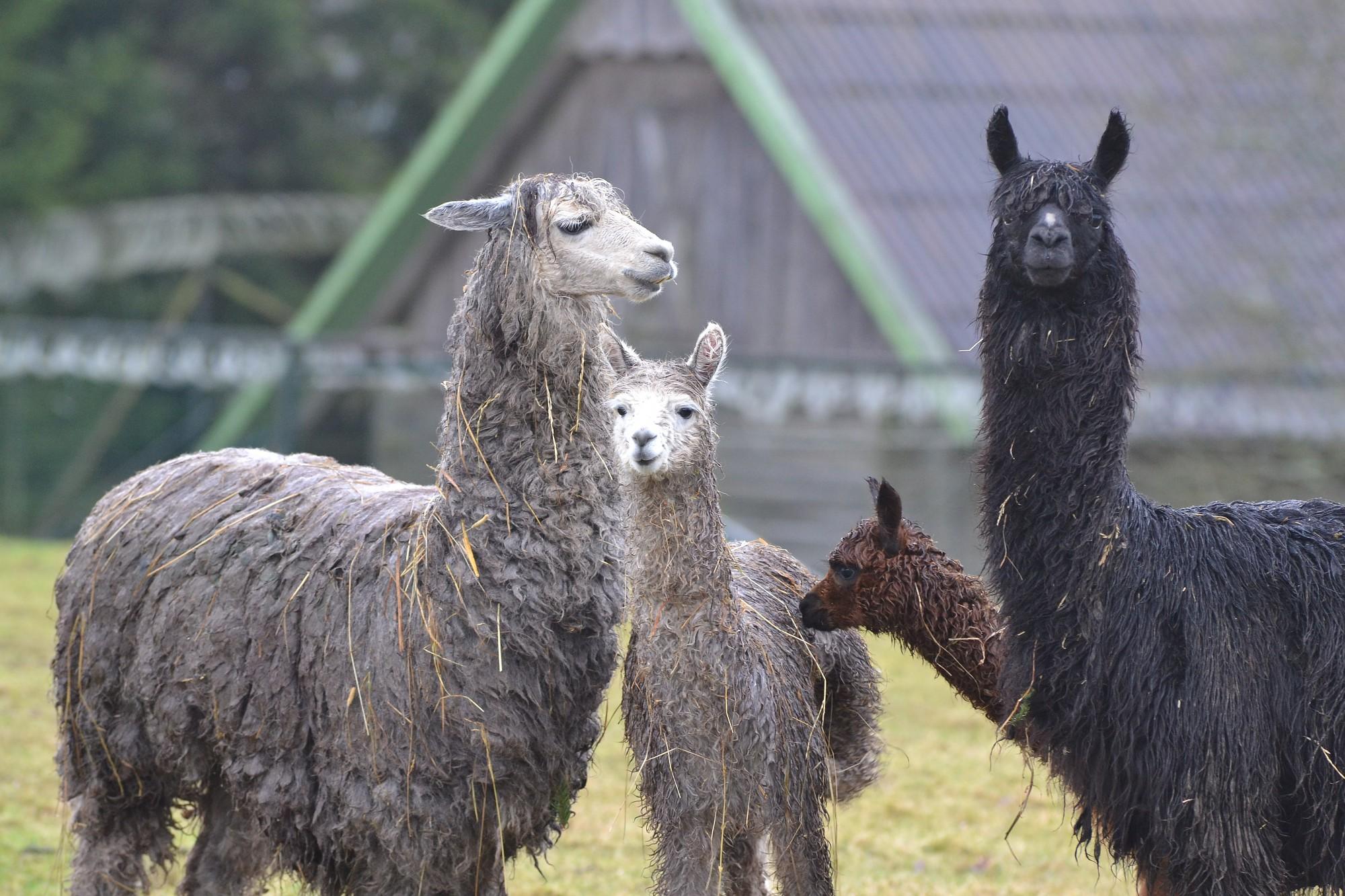 Во вновь открытом зоопарке в Калвене посетителей ждут малыши животных нескольких пород