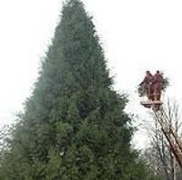 Большую елку зажгут и разбудят колокольчиками