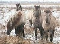 На затопленных морем лугах дикие лошади пасутся рядом с лебедями