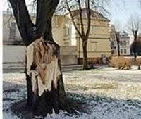 Вековое дерево взывает о помощи