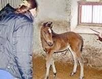 Маленькая лошадка будет привлекать в Приекуле