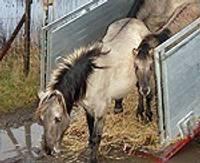 Дикие лошади из Нидерландов – на затопленных лугах в Папе