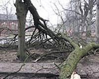 Вырвать корни ветру не под силу