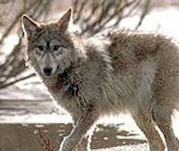 В филиале зоопарка «Цирули» происходит смена поколений волков