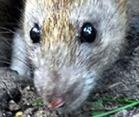 Приморский парк оккупировали крысы