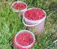 Леса этим летом полны ягод