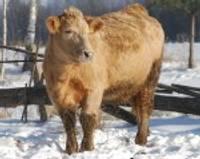 В Латвии растут самые здоровые бычки