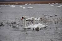 Лебеди на Лиепайском озере