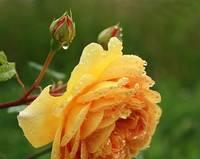 Rožu laiks