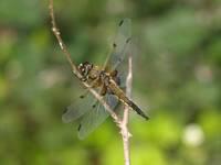 В Латвии этим летом наблюдается массовый лет стрекоз