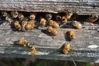 Встреча пчеловодов в Юрмалциемсе