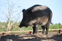 Продолжится отстрел лесных свиней