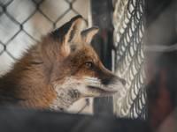 Недалеко от центра города замечена лиса, жительница переживает за безопасность детей