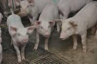 При пожаре в Айзпутском крае погибло 800 свиней