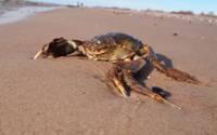 На Лиепайском пляже найден турист – Китайский мохнаторукий краб