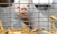Депутаты призывают с 2026 года запретить в Латвии разведение пушных зверей